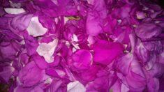 Rosa Rugosa Flower Petals
